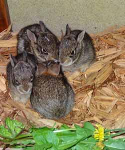 Baby Bunnies<br />Photo by MEhresman/IWC