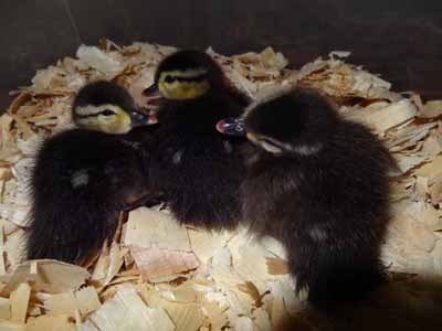 Wood Ducklings